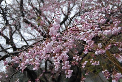 枝垂れ桜の花の様子