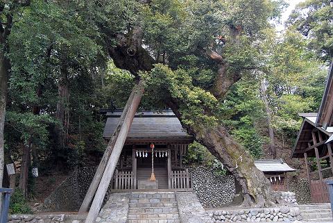 千ヶ瀬神社お堂前のシイノキ