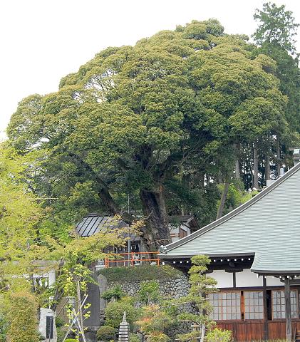 師岡神社 崖に立つシイノキ