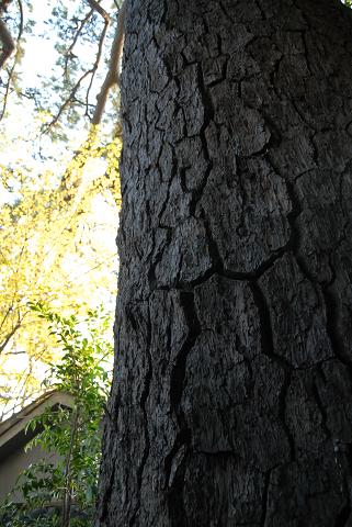 秋葉のクロマツ樹表