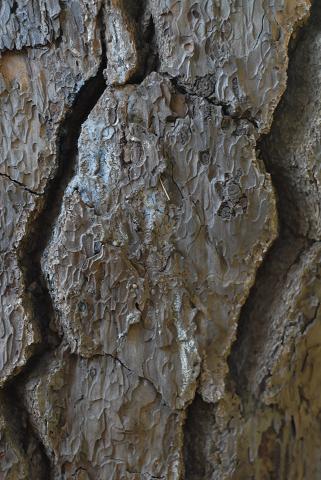 秋葉のクロマツ樹表アップ