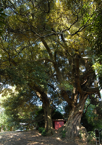 平久保(びらくぼ)公園のシイノキ3