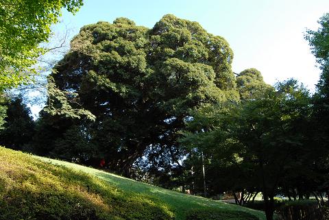 平久保(びらくぼ)公園のシイノキ2