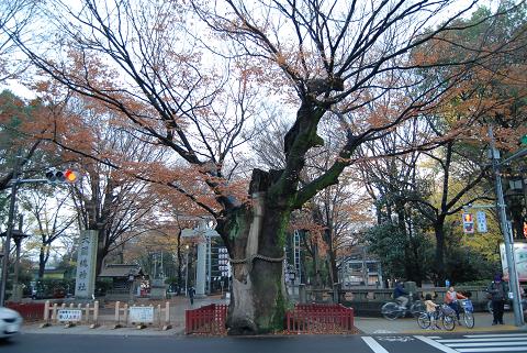 ケヤキ並木の右側巨樹