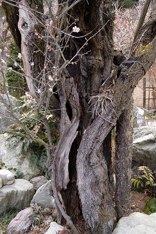 鎌倉の梅アップ