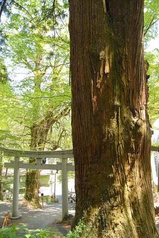 神代銀杏と滝本の大スギの位置関係