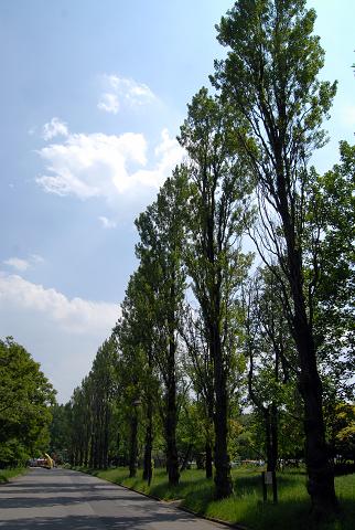 ポプラ並木①