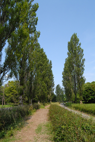 ポプラ並木②