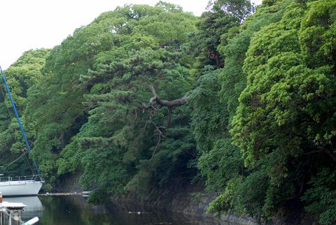 クロマツ水路に飛び出た枝の様子を