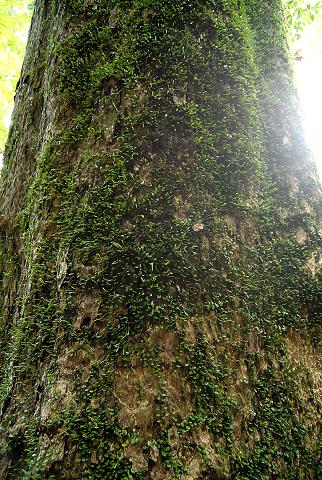 幹に大量にへばりつく植物の様子