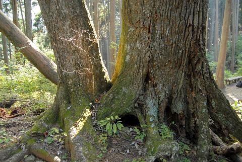 他の樹と根元でくっついている様子