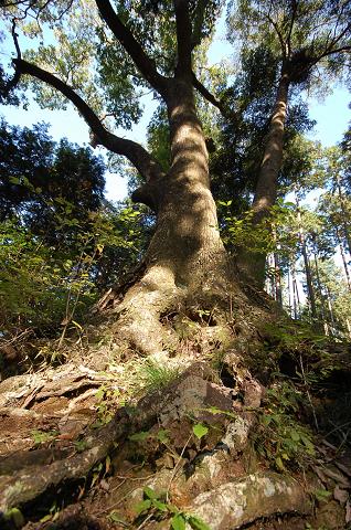 根が盛り上がった様子