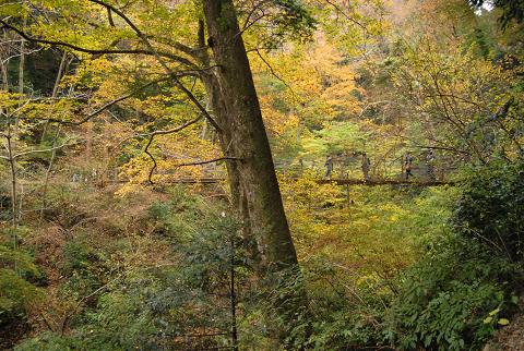 吊り橋とモミと紅葉