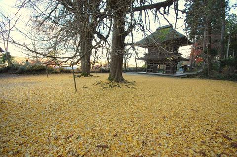 イチョウ絨毯②