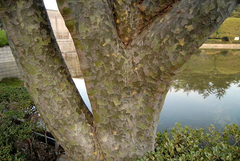 シロマツ樹表