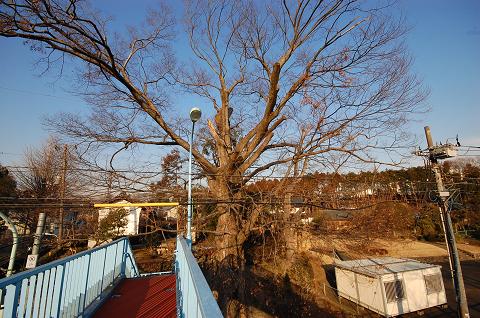 立橋の上から樹勢が良好の様子を