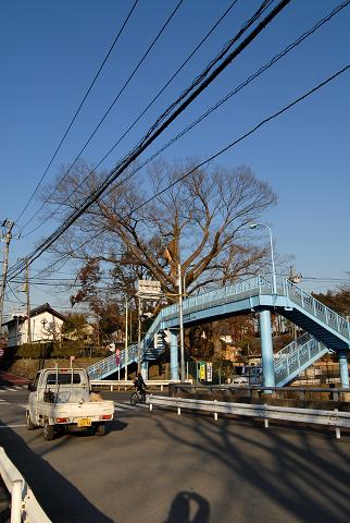 羽村橋の大ケヤキ引き