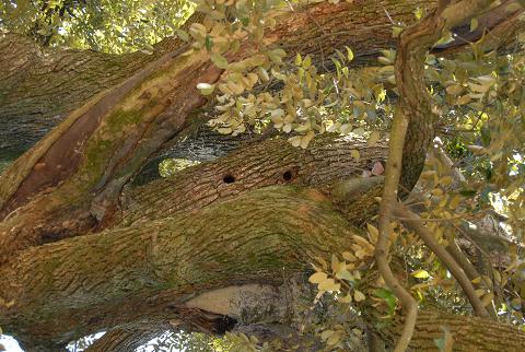 ムササビの巣
