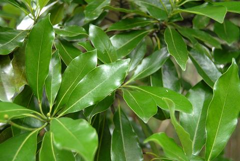 イヌグスの葉