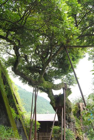 古里附のイヌグス 枝が伸びた様子