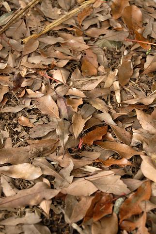 小丹波のイヌグス 散策路の落ち葉