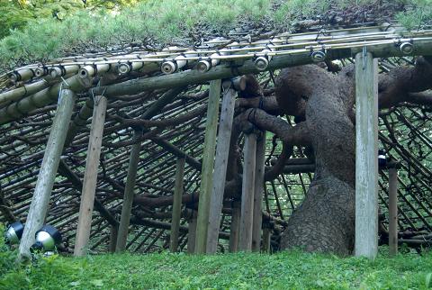 幹と張り伸びた枝の様子