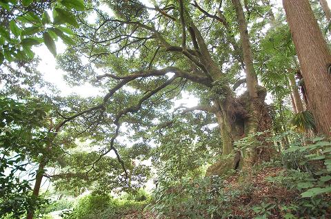 梅沢のイヌグス 森の主の風格を