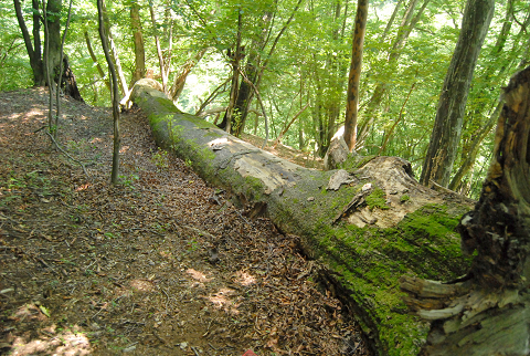 reseize長沢谷のミズナラ:倒木