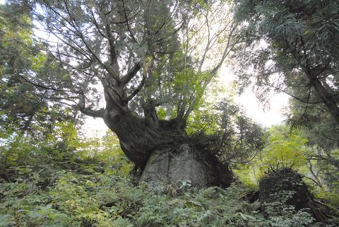 岩に鎮座している洞杉4