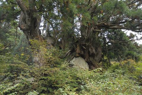 岩に鎮座している洞杉5