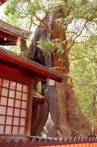 楠珺社裏に立つ樹齢1000年のクスノキ